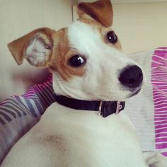 my jack russell terrier