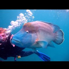 My best friend #bffl #maoriwrasse #missingthis #australia #queensland #dive #ssi #cruisewhitsundays @iliakliot