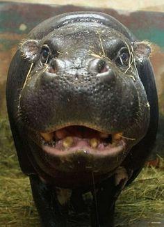 I want a hippopotamus for Christmas... Only a hippopotamus will do!