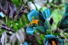 Puya berteroniana - Поиск в Google