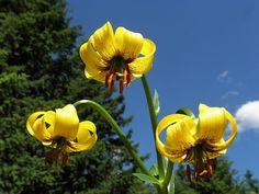 Lilium bosniacum - Bosnian lily or golden lily