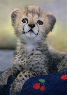 Like Animals, Cute Baby Animals, Animals And Pets, Animal Babies, I Love Cats, Big Cats, Animal Pictures, Cute Pictures, Cheetah Cubs