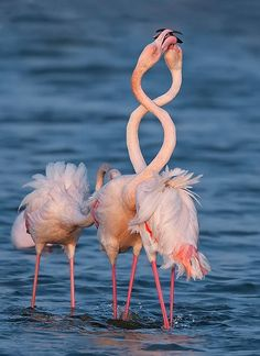 Beautiful birds, flamingos in love