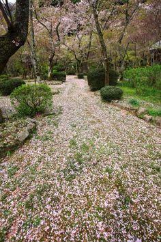 散り桜 一面 勝持寺 京都 洛西 名所 春
