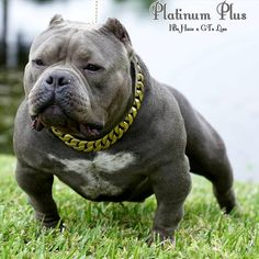 American exotic bully for sale. Hazeline and Bape florida, coral springs. Platinum Plus xXx Mz.Dimepiece Pup for sale contact Jermaine for more info . Bully Dog For Sale, American Bully For Sale, American Bully Pocket, Pocket Bully, Bulldog Puppies For Sale, American Bullies, American Bulldog Breeders, French Bulldog Breed, Bully Pitbull