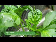 A paprika vírusbetegségei - YouTube Youtube, Instagram, Red Peppers, Lawn And Garden, Youtubers, Youtube Movies
