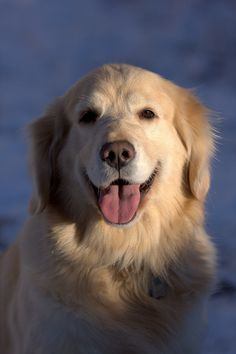 Golden Retriever Portrait. Golden Retriever dog art portraits, photographs, information and just plain fun. Also see how artist Kline draws his dog art from only words at drawDOGS.com #drawDOGS http://drawdogs.com/product/dog-art/golden-retriever-dog-portrait-by-stephen-kline/