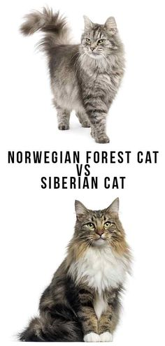 Norwegian Forest Cat vs Siberian Cat - Which To Bring Home? Norwegian Forest Cat vs Siberian Cat - Which To Bring Home? Baby Cats, Cats And Kittens, Ragdoll Kittens, Funny Kittens, Bengal Cats, White Kittens, Kitty Cats, Siberian Forest Cat, Siberian Kittens