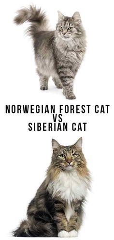 Norwegian Forest Cat vs Siberian Cat - Which To Bring Home? Norwegian Forest Cat vs Siberian Cat - Which To Bring Home? Baby Cats, Cats And Kittens, Kittens Cutest, Siberian Forest Cat, Siberian Kittens, F2 Savannah Cat, Cat Wallpaper, Cat Facts, Cat Breeds