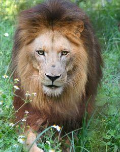 LionBigCatRescue2011Sept131.png (532×670)