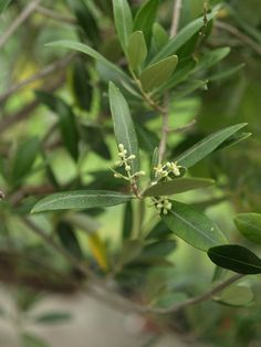 One of our olive trees with flower buds this summer! Don't expect much olives though! Tree, Plant Leaves, Flowers, Flower Bud, Olive Tree, Plants