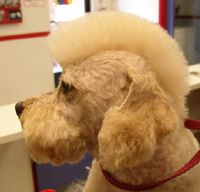 Dog Grooming Styles, Dog Grooming Salons, Pet Grooming, Poodle Haircut Styles, Goldendoodle Miniature, Poodle Cuts, Creative Grooming, Dog Haircuts, Dog Halloween Costumes