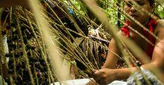 Extrativismo de açaí na Terra Indígena Sawré Muybu, do povo Munduruku, no estado do Pará, Brasil.  Fotografia: Valdemir Cunha / Greenpeace.  http://noticias.uol.com.br/meio-ambiente/album/2016/03/21/indios-munduruku-protestam-contra-hidreletricas-no-tapajos.htm#fotoNav=9