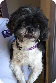 Urbana, OH - Shih Tzu Mix. Meet Jagger Ranger, a dog for adoption. http://www.adoptapet.com/pet/15185290-urbana-ohio-shih-tzu-mix