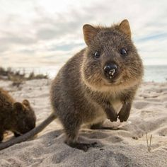 quokkas the happiest animal that might steal your heart 12 photos 1 Quokkas, the happiest animal that might steal your heart (12 photos)
