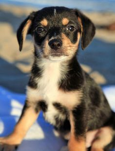 """Hi, I'm Dallas, a.k.a., """"Little D,"""" and soon to be """"Big D"""" if I have anything to do with it. I'm just a 10-week-old puppy that has been given a second chance at life. When my brothers and sisters were just two days old, we were abandoned on the side of the road. Who could do that to me? Do you see this cute face? Sigh. Even though I had a rough start, I now enjoy a dog-gone blessed life. When I saw my mom at the adoption event, it was love at first sight. She said """"Dallas, do you want to…"""