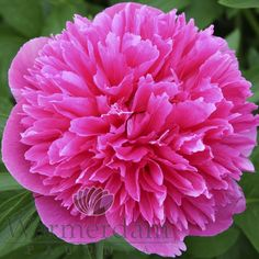 Rosa Plena,  Warmerdam Paeonia Passion Oude Wetering