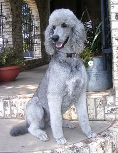 Poodle The Adorable Dog - The Pooch Online I Love Dogs, Puppy Love, Cute Dogs, Poodle Grooming, Dog Grooming, Schnauzer Grooming, Silver Poodle, Poodle Haircut, Poodle Cuts