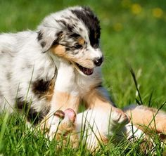 Blue and Red Merle Aussie Shepherd pups <3