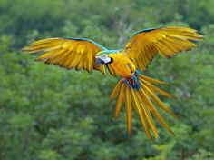 Blue and Gold Macaw in Flight Wallpaper from Beautiful Birds. Blue and Gold Macaw - this awesome macaw in flight is not only beautiful it is intelligent. Colorful Parrots, Colorful Birds, Tropical Birds, Exotic Birds, Tropical Animals, Pretty Birds, Beautiful Birds, Beautiful Bird Wallpaper, Parrot Flying