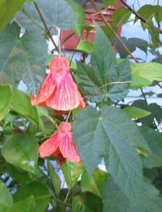 Flowering Maple - Blooming in the Gardens Today 6-04-2013