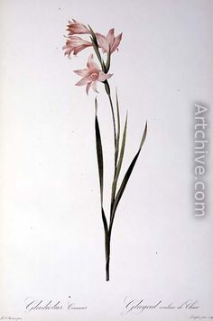 Gladiolus Carneus, from Les liliacees, 1804 - Pierre-Joseph Redoute