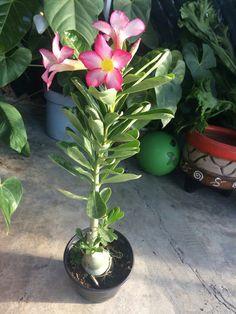 Desert Rose Plant, Planting Roses, Deserts, Gardens, Gardening, Desert Rose, Roses, Plants, Flowers