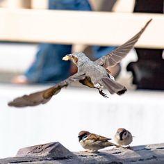 しゅわっち  #ヒヨドリ#bulbul #スズメ#雀#treesparrow #鳥#bird#野鳥#Wildbird#birdwatching #小鳥#pocket_birds #動物#animal #かわいい#kawaii#cute #飛翔#fly#flight #風景#景色#picture#landscape #日本#japan#love#loves_nippon #写真好きな人と繋がりたい #一眼レフ