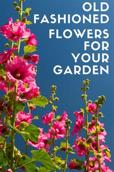 Learn how to grow these old fashioned plants in your modern day garden. These easy to grow vintage flowers are making a comeback in popularity for the flower garden. #gardening #gardeningtips #oldfashioned #flowergardening
