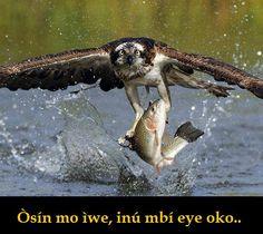 """Òsín mo ìwe, inú mbí eye oko.  Tradução:   - A águia pescadora sabe nadar, as outras aves da floresta fervilham de raiva. Significado: - As """"pessoas"""" estão sempre com inveja das conquistas dos outros."""