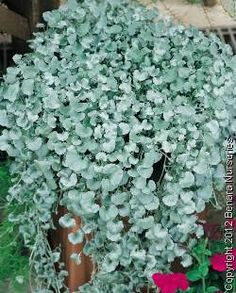 Dichondra Silver Falls Love this! You can buy them super cheap and plant them in a pot or use as a low maintenance alternative to lawn. The silver is also a great contrast and adds depth to your garden. Goes beautifully with bright red strappy leaves plants like plaxs and dark green coloured plants.