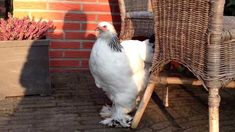 agen sabung ayam online - Klik picture for information Chicken, Pictures, Birds, Animals, Photos, Animales, Animaux, Bird, Animal