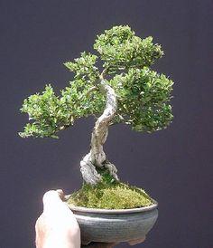 Bonsai (Species Unknown)