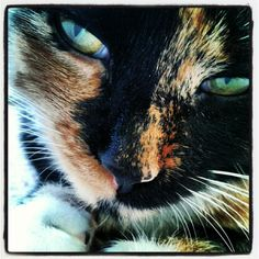 Calico, like my Songo