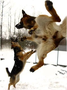 Love this pic. GSD karate