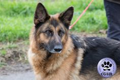 Central German Shepherd Rescue wishes Tess, a young 7 year old female German Shepherd best wishes in her adoption from CGSR. Female German Shepherd, German Shepherd Rescue, 7 Year Olds, United Kingdom, Fur, Friends, Amigos, England, Boyfriends