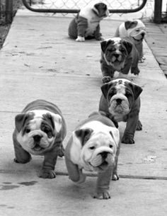 English bulldog pups.... Love them! I raised em.. My house use to be like this.. Pups everywhere..miss em!