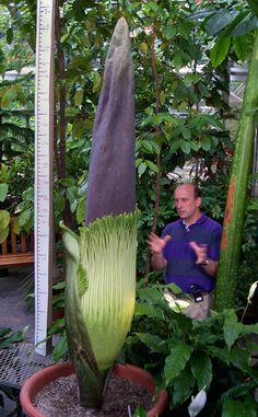 "Titan Arum or 'Corpse Flower' by Michael Rothbart: Paul Berry, director of the UW-Madison Herbarium, stands next to a Titan Arum or ""corpse flower""which is just 7' tall. It is named for its smell which is similar to that of a dead animal. http://www.news.wisc.edu/titanarum2001/index.htm The specimen at the U.S. Botanical Garden is expected to bloom imminently for the first time ever. http://www.huffingtonpost.com/2013/07/16/when-will-dc-corpse-flower-bloom_n_3606797.html  #Flower…"