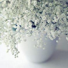 Babys Breath Flower Seeds Gypsophila Elegans by UnderTheSunSeeds