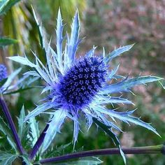 Perennials Sea Holly is a very fancy thistle, and it really is this blue. An easy to grow perennial, it's long been a favorite in English cutting gardens, but will grow almost anywhere. The metallic blue flowers - Exotic Flowers, Cut Flowers, Dried Flowers, Beautiful Flowers, Orchid Flowers, Simply Beautiful, Colorful Flowers, Spring Flowers, White Flowers