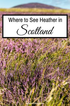 Today I want to share the beauty of Scottish heather with you, and let you know when and where to see heather in Scotland for yourself.
