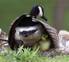 """Canadian Geese 