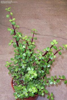 Buy jade plant, elephant bush - plant online - buy 6000 ... |Elephant Caring For Jade Plant