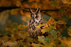 Owl, Long Eared Owl, Peregrine Falcon, Dog Portraits, Falcons, Animales, Pictures, Calendar, Owls