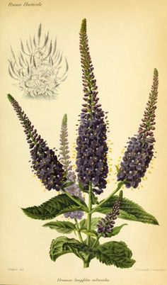 Veronica longifolia subsessilis (Japanese Speedwell). Illustration taken from 'Revue Horticole.' Published 1881 by Librairie Agricole de la Maison Rustique Harvard Botany Libraries. Biodiversity Heritage Library.