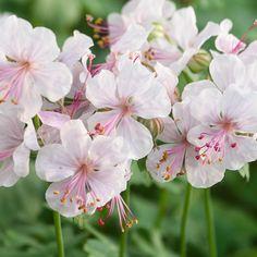 Geranium cantabrigiense 'Biokovo' (Large Plant) - Perennial & Biennial Plants - Thompson & Morgan