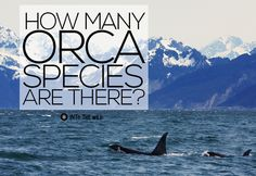 Seeing Double: How Many Orcas Are There? frontier.ac.uk | blog.frontiergap.com #killerwhale #orca #marineconservation #wildlife #ocean #marine #animals #volunteer #journey #adventure
