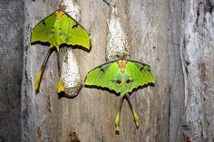 butterflies, Schmetterling, papillon, farfalla