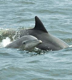 Baby Dolphin next to its mother! - photos for teaching spatial concepts - Pinned by @PediaStaff – Please Visit ht.ly/63sNt for all our pediatric therapy pins