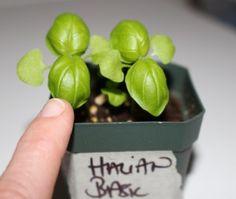 Basil | How To Grow Indoors